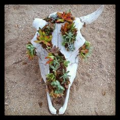 Buffalo Skull ~ Filled with various colorful succulents.