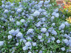 Ceanothus- Californian Lilac