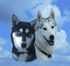 it helps both joints and their wonderful fluffy coats stay nice and shiney Omega 3 Fish Oil, Fluffy Coat, Your Dog, Husky, Coats, Nice, Nature, Animals, Wraps