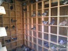Racing Pigeon Photos   Pigeon Loft Construction  