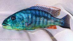 Aristochromis Cichlid for Sale Online Live Aquarium Fish, Tropical Aquarium, Planted Aquarium, Tropical Fish, Malawi Cichlids, African Cichlids, Cichlid Fish, Lake Tanganyika, Ichthys
