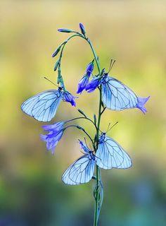 Flores o mariposas?