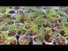 Novidade no plantio de mandioca pode revolucionar lavoura no PI