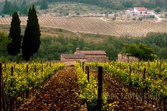 Castellina in Chianti Vineyard in Tuscany by James Lawson Photography