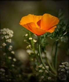 California Poppy- tattoo color and shape