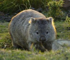 look at this wombat! look at it! it's so cute and fluffy!