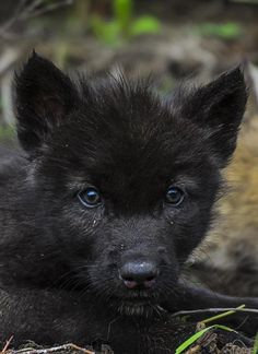 The Beauty of Wildlife black wolf pup  Stop killing wolves !