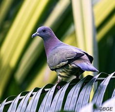 Pink Necked Pigeon | Flickr - Photo Sharing!