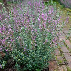 Buy hedge germander Teucrium × lucidrys: Delivery by Crocus