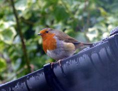 The Robin Diaries ... An Interloper in the rain!