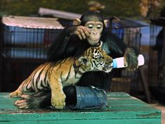 Chimp feeds tiger cub. Why not?