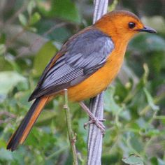The Red-capped Robin-Chat (Cossypha natalensis) is a species of bird in the Muscicapidae family. It is found in Angola, Botswana, Burundi, Cameroon, Central African Republic, Republic of the Congo, Democratic Republic of the Congo, Ethiopia, Gabon, Kenya, Malawi, Mozambique, Namibia, Nigeria, Rwanda, Somalia, South Africa, Sudan, Swaziland, Tanzania, Uganda, Zambia, and Zimbabwe.