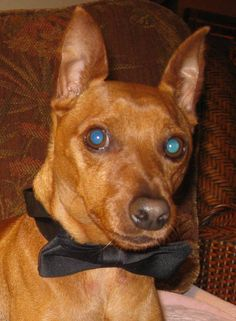 """Beautiful red min pin!  Another pinner pinned - In memory of """"Riggins""""    looks like my Tazman...RIP"""