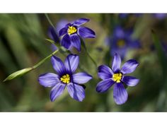 Blue-eyed grass is one of the many wildflowers planted in a special garden at the Fullerton Arboretum featuring California natives.