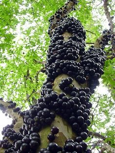 "Jabuticaba Fruit Tree Plant - 6"" Pot - Myrciaria -Tree That Fruits On It's Trunk Hirt's Gardens http://www.amazon.com/dp/B007JNR7UC/ref=cm_sw_r_pi_dp_Noexub01APK0Q"
