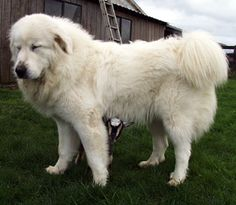spot the baby goat - cute little nigerian dwarf with a beautiful great pyrenees.