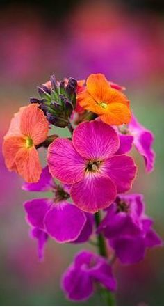 Erysimum 'Winter Orchid' by Sarah Raven
