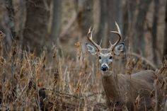 White-Tailed Deer in Fontenelle Forest by Alex Wiles