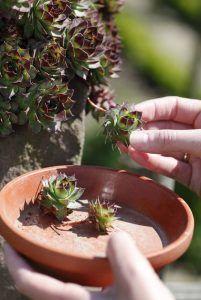 Dachwurz – New Ideas – Cactus Succulent Bonsai, Succulents Garden, Most Beautiful Gardens, Amazing Gardens, Love Garden, Garden Art, Diy Garden, Cactus Plante, Pinterest Garden