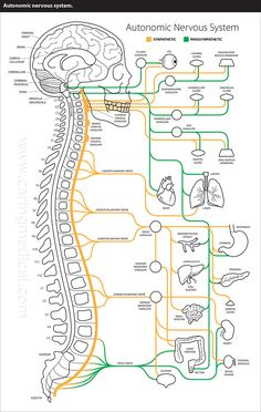 Dysautonomia, Postural Orthostatic Tachycardia Syndrome, Joint Hypermobility Syndrome and Ehlers-Danlos Syndrome as Associated Conditions Treated with Prolotherapy Vestibular Neuritis, Autonomic Nervous System, Vagus Nerve, Male Infertility, Hypermobility, Spinal Cord Injury, Ehlers Danlos Syndrome, Nursing Notes, Crps