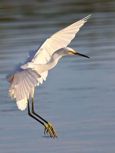 Snowy Egret by Bill Foxworthy