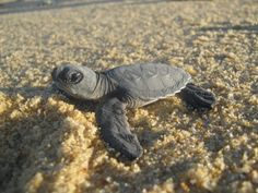 Baby Sea Turtles | Baby Sea Turtle at the Mayto Turtle Camp Preserve at Mayto Beach in ...