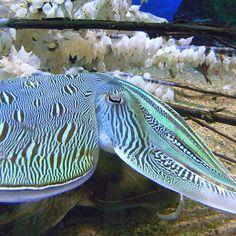 Common cuttlefish Sepia esculenta
