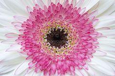 Gerbera Flower by Jacky Parker on 500px