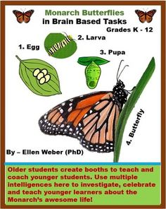 Students love to create learning opportunities for younger learners to enjoy the wonder of monarch butterflies! And we now know that when you teacher another person at the same time you learn yourself – you retain 90% more.  In these popular monarch butterfly materials older students create tasks to teach younger studentsabout the wonder of monarch butterflies. As seen below – you will receive cheat sheets with all the information you need. There are also videos to enjoy learning…