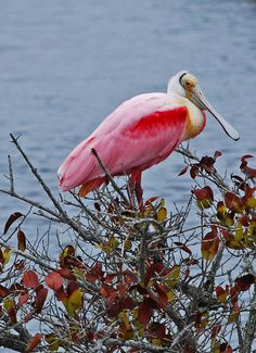 Roseate Spoonbill, via Flickr.