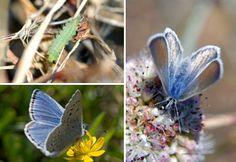 Mission Blue Butterflies & Larva