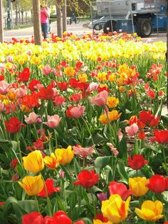 Tulips by the hundreds