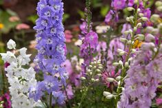 Delphinium 'Fountain Mixed'