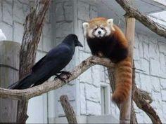 レッサーパンダジャンプ!! ~Red Panda Jump! - YouTube