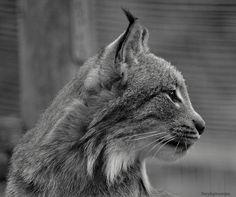 Male Lynx Black and White Side View