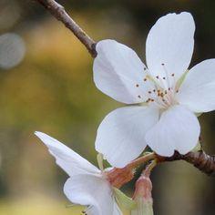 【nao5296】さんのInstagramをピンしています。 《* シキザクラも咲いてました☺︎ 儚げでかわいい♡ * #桜 #シキザクラ #四季桜 #玉ボケ #花 #flower  #風景 #landscape  #写真好き #はなまっぷ #STYLUSSH3 #スタイラス  #OLYMPUS #オリンパス #カメラ好きな人と繋がりたい  #カメラ #カメラ初心者  #東京カメラ部  #tokyocameraclub #japan_of_insta  #lovely_flowergarden #whim_fluffy  #whim_life #whim_bw #flower_special_ #ip_blossoms》