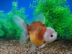 Goldfish Auction Mauve headed Oranda with coffee body by… Oranda Goldfish, Goldfish Bowl, Home Aquarium, Aquarium Fish, Colorful Fish, Tropical Fish, Beautiful Sea Creatures, Little Fish, Beautiful Fish