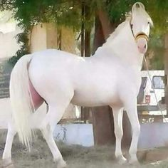 Pure white marwari of India Beautiful Arabian Horses, Most Beautiful Horses, Majestic Horse, All The Pretty Horses, Animals Beautiful, Horse Photos, Horse Pictures, Rare Horse Breeds, Marwari Horses