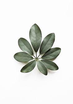 Eight   Schefflera Arboricola   Botanical Portraits   http://www.whatiseewhenirun.com/product/eight-schefflera-arboricola