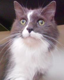 Petango.com – Meet Wanda, a 5 years Domestic Longhair / American Bobtail available for adoption in LEWISVILLE, TX