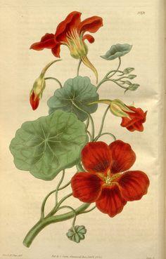 "https://flic.kr/p/e8q8eC   n5_w1150   Curtis's botanical magazine.. London ;New York [etc.] :Academic Press [etc.]. <a href=""http://biodiversitylibrary.org/page/465869"" rel=""nofollow"">biodiversitylibrary.org/page/465869</a>"