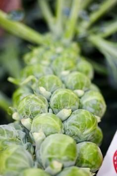Growing Brussels Sprouts ... i seriously have a Brussels sprouts addiction... :)