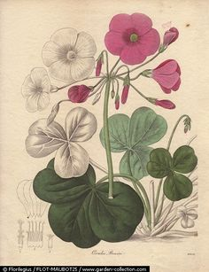 Oxalis bowiei - Bowie's wood-sorrel or Cape shamrock is a small pink-flowered plant native to South Africa. Miss R. Mills (active 1836~1842) was also the main illustrator for Knowles and Westcott's The Floral Cabinet (1837-1842).