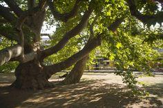 Az egri platán lett az Év Fája / Plane tree in Eger London plane (Platanus acerifolia) - European tree of the year 2013 Plane Tree, Baroque Architecture, Central Europe, How Beautiful, Budapest, Garden Plants, Countryside, Castle, Country Roads