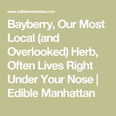 Bayberry, Our Most Local (and Overlooked) Herb, Often Lives Right Under Your Nose | Edible Manhattan