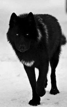 beautiful silver wolf - Google Search