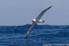 Shy-albatross-in-flight-13.jpg (600×400)