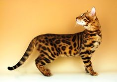 Bengal cat stock images, picture / photo ideas and breed information I Love Cats, Crazy Cats, Cool Cats, Gatos Cool, Cats Outside, Types Of Cats, Cat Urine, Super Cat, Curious Cat