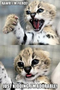 funny pictures of cats | Fierce Kitten nope Adorable Kitten
