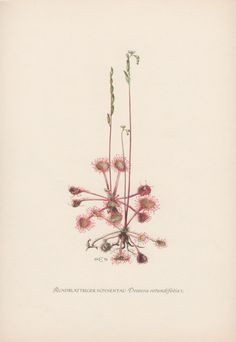 Botanical Print Drosera rotundifolia by AntiquePrintGarden on Etsy